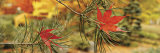 Maple Leaves Stuck on a Pine Tree Branch, Oregon, USA Fotoprint
