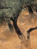 Olive Tree, Turkey Fotografie-Druck von Jon Arnold