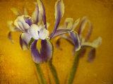 Iris Photographic Print by Irene Suchocki