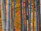 Maples Trees and Bamboo, Arashiyama, Kyoto, Japan Photographic Print by Gavin Hellier