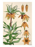 Botanical Diagram of Crown Imperial Giclee Print by Eugene Grasset