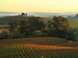 Vineyard from Artesa Winery, Los Carneros, Napa Valley, California Stretched Canvas Print by Janis Miglavs