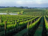 Grapevines in Rows, Napa Valley, California Impressão fotográfica por Janis Miglavs