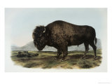 American Bison or Buffalo Giclee Print by John James Audubon