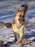 German Shepherd in Snow Photographic Print by Peggy Koyle