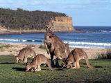 Group of Kangaroos Grazing, Australia Lámina fotográfica por Inga Spence