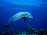 Bottlenose Dolphin, Underwater, Providenciales Fotografisk trykk av Gerard Soury