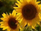 Sunflowers in Prairie Fields Stampa fotografica di Keith Levit