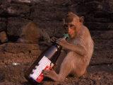 Monkey with Beer Bottle, Lopburi, Thailand Fotografisk tryk af Frank Staub