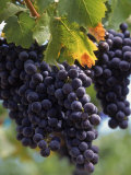Close-up of Grapes on Vine Lámina fotográfica por John Luke