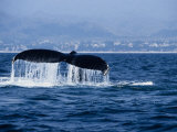 Humpback Whale, Raising Flukes Photographic Print by Gerard Soury