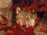 Gray Wolf Peeking Through Leaves Fotografisk tryk af Lynn M. Stone