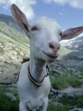 Goat, Inquisitive, Switzerland Reproduction photographique par Olaf Broders
