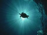 Silhouette of Underwater Sea Turtle from Beneath Lámina fotográfica por Erik Stein