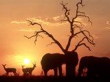African Elephant, with Impala at Waterhole at Sunset, Botswana Fotografisk tryk af Richard Packwood
