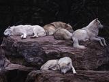 Gray Wolf, Canis Lupus Fotografisk tryk af D. Robert Franz