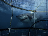 Great White Shark, Eating Bait, S. Africa Photographic Print by Gerard Soury