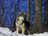 Gray Wolf, Canis Lupus Fotografisk trykk av D. Robert Franz