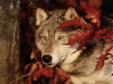 Gray Wolf Peeks Through Leaves, Canis Lupus Photographic Print by Lynn M. Stone