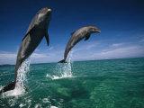 Bottlenose Dolphins, Tursiops Truncatus Fotografisk tryk af Stuart Westmorland