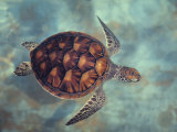 Green Turtle, Java, Indian Ocean Photographic Print by Gerard Soury