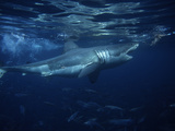 Great White Shark, Attacking Bait, South Australia Photographic Print by Gerard Soury
