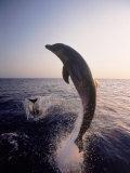 Dolphins Jumping in the Ocean Fotografisk trykk av Stuart Westmorland