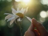 Person's Hand Pulling Petals off Daisy Fotoprint av Jon Riley
