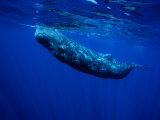 Sperm Whale, Juvenile, Portugal Photographic Print by Gerard Soury