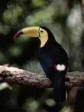 Keel Billed Toucan, Belize Zoo, Belize Fotografisk tryk af Frank Staub