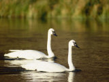 Two Trumpeter Swans, Yellowstone National Park, WY Stampa fotografica di Elizabeth DeLaney