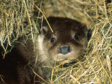 Otter in Straw, Aylesbury, UK Fotografie-Druck von Les Stocker