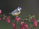 Blue Tit, Perched on Wild Currant Blossom, UK Reproduction photographique par Mark Hamblin