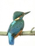 Kingfisher, Aylesbury, UK Reproduction photographique par Les Stocker