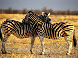 Two Zebras Crossing Heads Photographic Print by Russell Burden