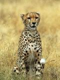 Cheetah, Ngorongoro Crater, Africa Stampa fotografica di Keith Levit