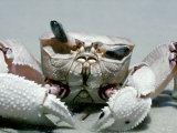 Crab, Shows Independent Eye Movement Lámina fotográfica por Victoria Stone & Mark Deeble