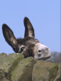 Donkey, Peering Over a Stone Wall, UK Fotografisk tryk af Mark Hamblin