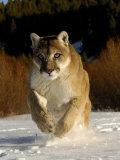 Mountain Lion, Winter, USA Photographic Print by Daniel J. Cox