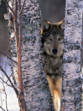 Gray Wolf Near Birch Tree Trunks, Canis Lupus, MN Fotoprint van William Ervin