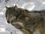Gray Wolf, Two Captive Adults Kissing, Montana, USA Fotoprint van Daniel J. Cox