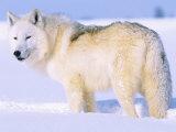 Arctic Wolf, Canis Lupus Arctos Fotografisk tryk af Lynn M. Stone