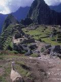 Inca Ruins of Machu Picchu, Llama, Peru Fotografie-Druck von Shirley Vanderbilt