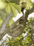 Three-Toed Sloth, Quepos, Costa Rica Reproduction photographique par David M. Dennis