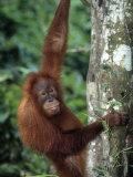 Adolescent Sumatran Orangutan, Indonesia Fotografisk tryk af D. Robert Franz