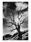 Gnarled Tree, the Black Mountains, Powys, Wales Giclée-Druck von Simon Marsden