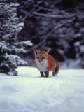 Red Fox in Snowy Wood Lámina fotográfica por John Luke