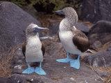 Blue Footed Boobies, Ecuador Reproduction photographique
