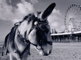Donkey at Shorefront, Blackpool, England Stampa fotografica di Walter Bibikow