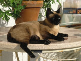 Siamese Cat Resting on Table Top Photographic Print by Gareth Rockliffe